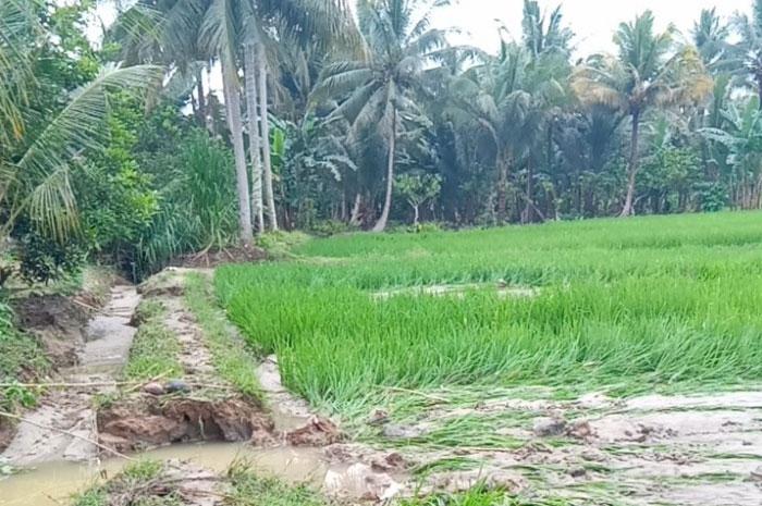 Tanggul Jebol, Luapan Air Sungai Alupote Genangi Sawah Warga